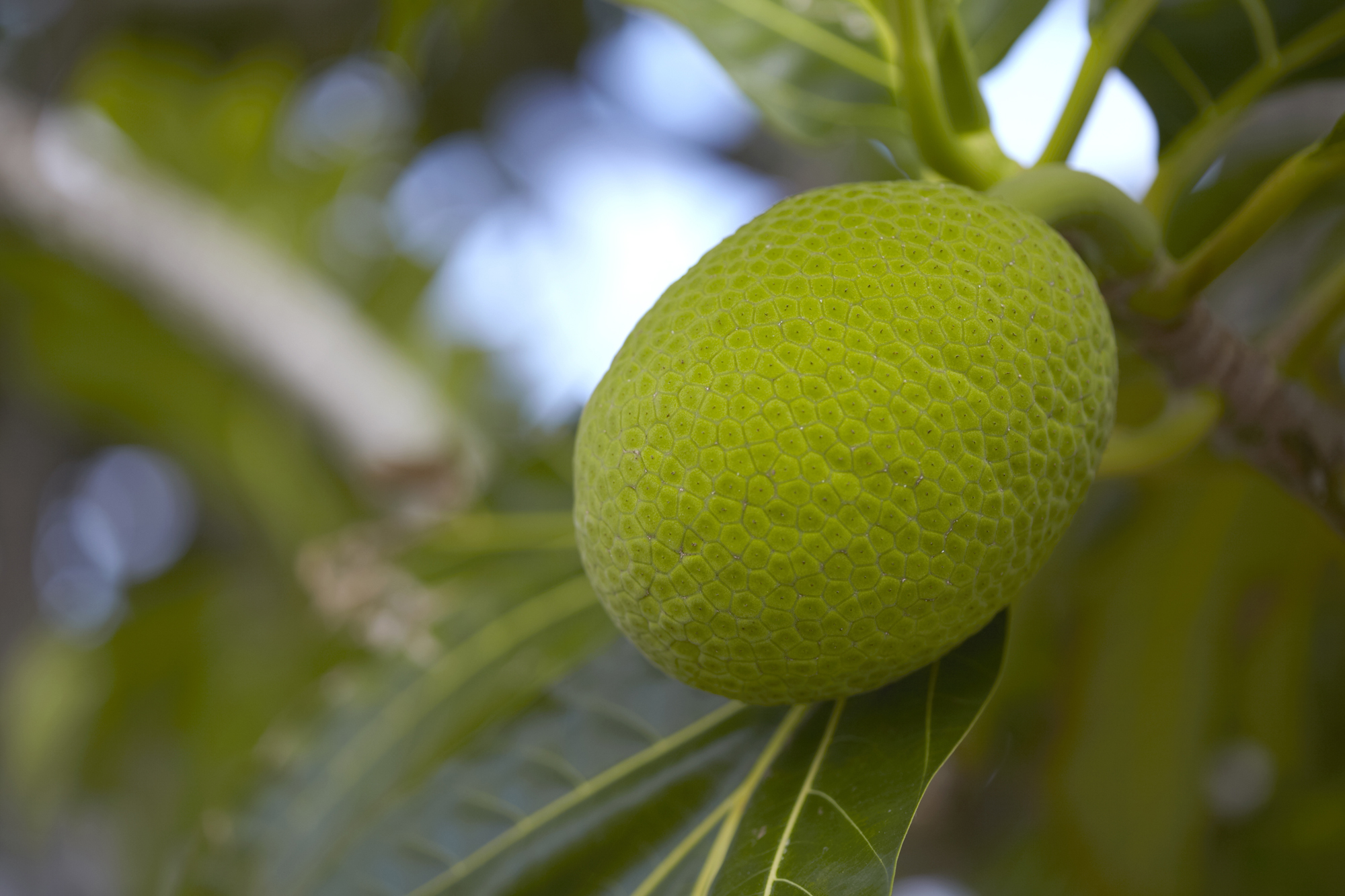 Close up of a West Indian Breadfruit On Tree